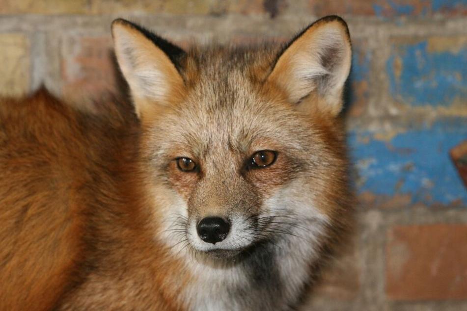 Fachleute bestätigten das Verhalten: Ein Fuchs war für das kopflose Reh verantwortlich. (Symbolbild)