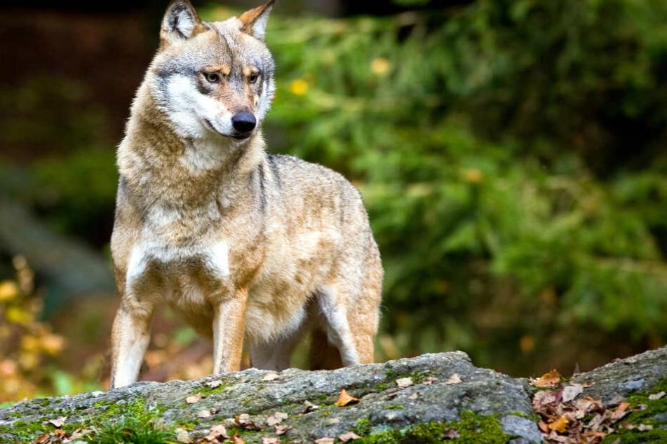 Ein echter Wolf in einem Naturpark in Bayern.