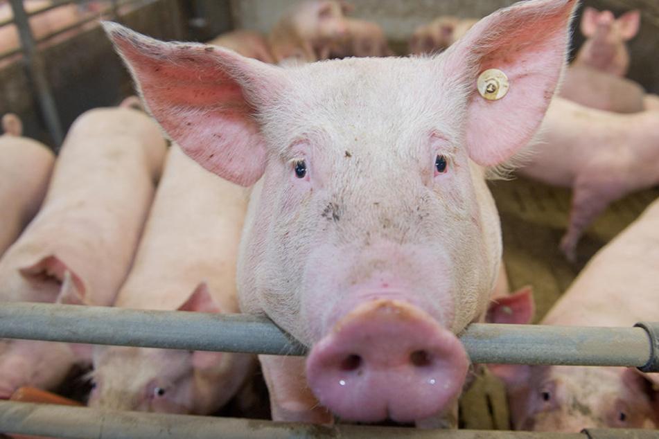 In Polen sind bereits Hausschweine an der Afrikanischen Schweinepest erkrankt. (Symbolbild)