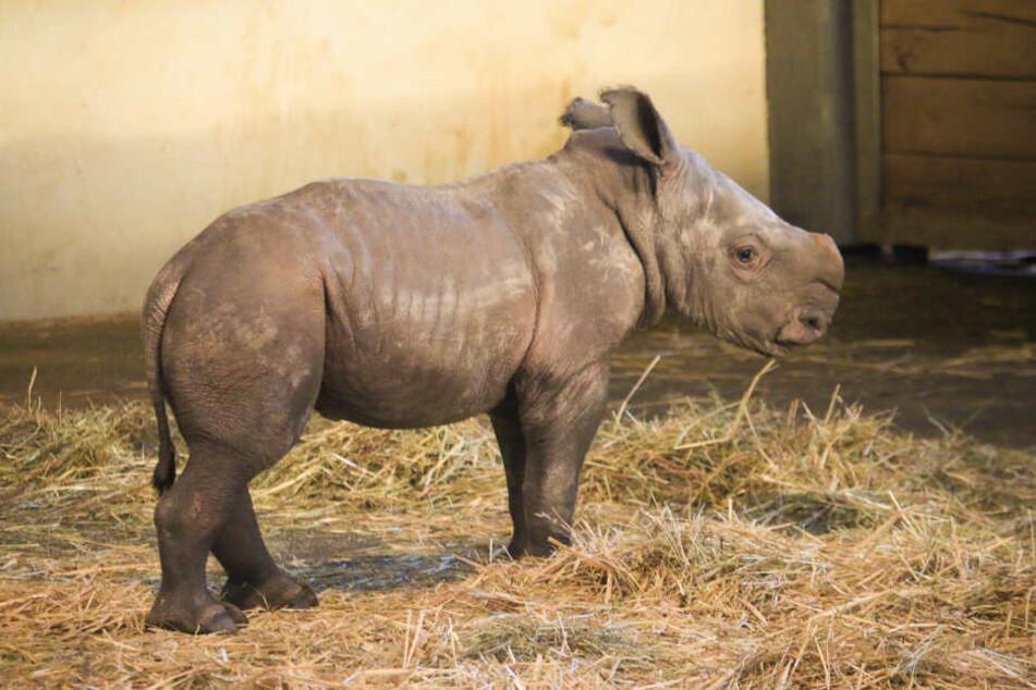Kleines Nashorn-Baby aus dem Erfurter Zoo hat jetzt einen Namen
