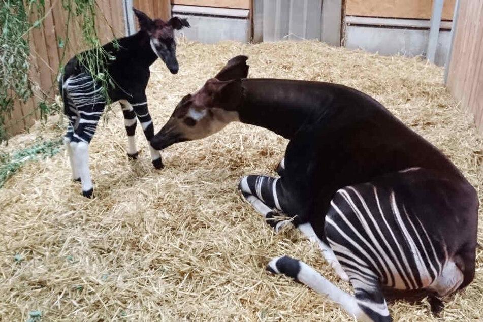 Jetzt Hat Das Süße Okapi Aus Dem Leipziger Zoo Endlich Einen Namen