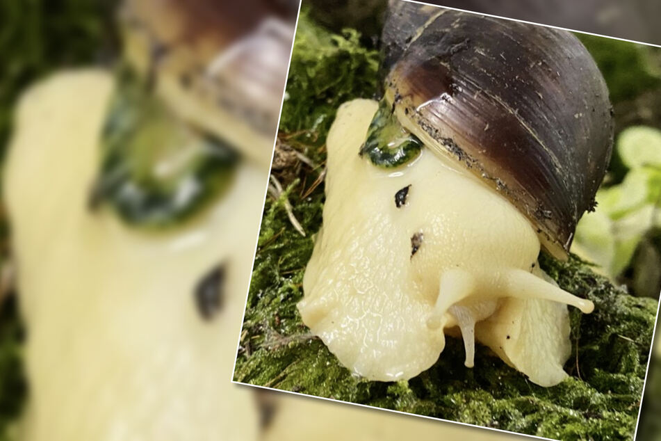 Schleimige Angelegenheit: Besitzerin gibt Riesenschnecken ins Tierheim, der Grund ist kurios