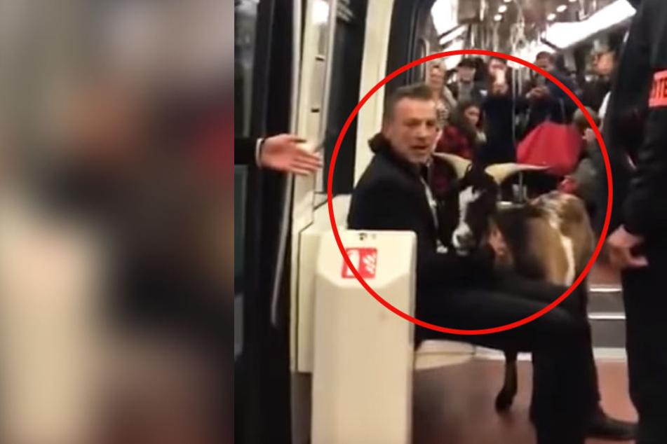 Der Mann wollte mit der Ziege partout nicht die Bahn verlassen.