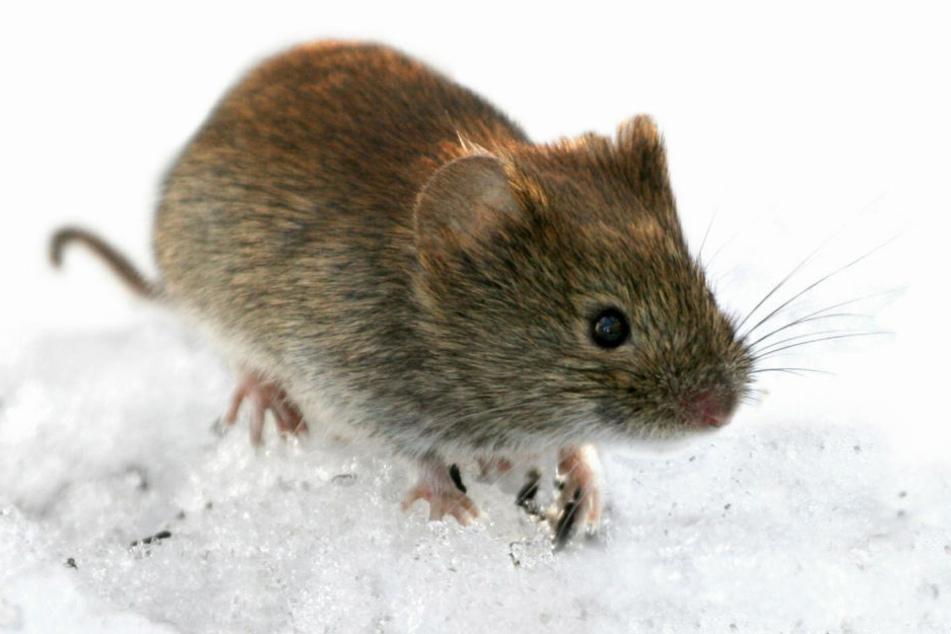Rötelmäuse und andere Nagetiere übertragen das Hantavirus.