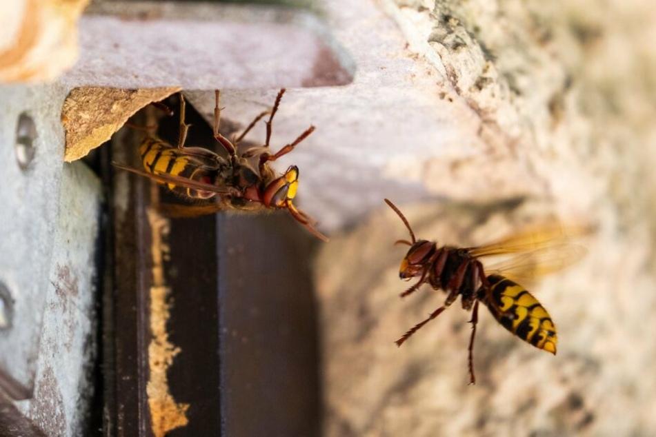 Wespen sind kluge aber auch lästige Insekten. Manche Arten lassen sich von Gerüchen vertreibe.