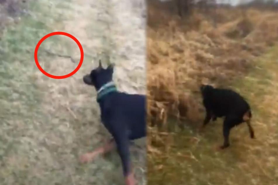 Hund trifft auf eine Schlange, dann gibt es kurzen Prozess!