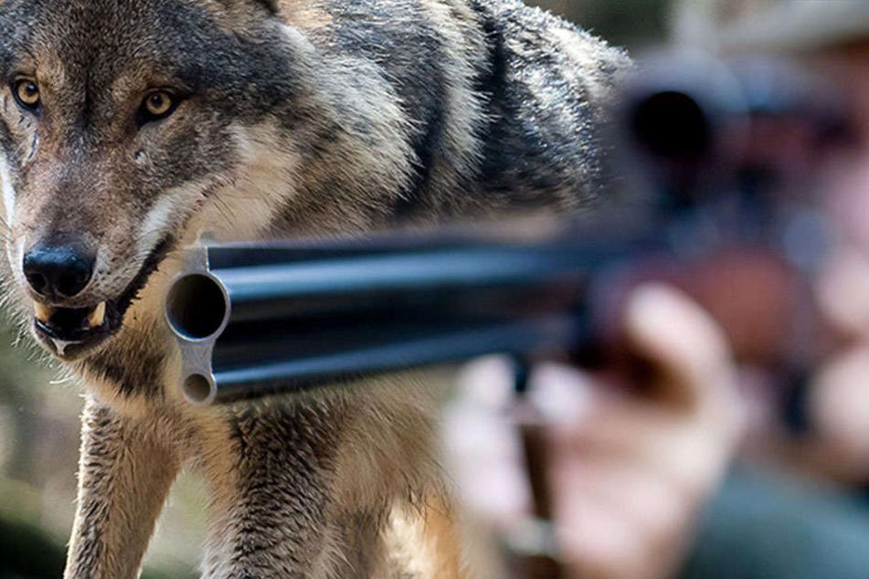 Am Mittwoch wollen Experten beim sogenannten 4. Wolfsplenum auf Einladung des Umweltministerium in Potsdam über Wölfe diskutieren.