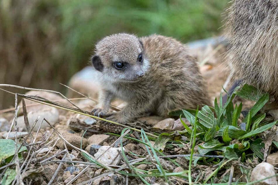 Die kleinen Erdmännchen erkunden seit etwa vier Wochen ihr Gehege im Kölner Zoo.