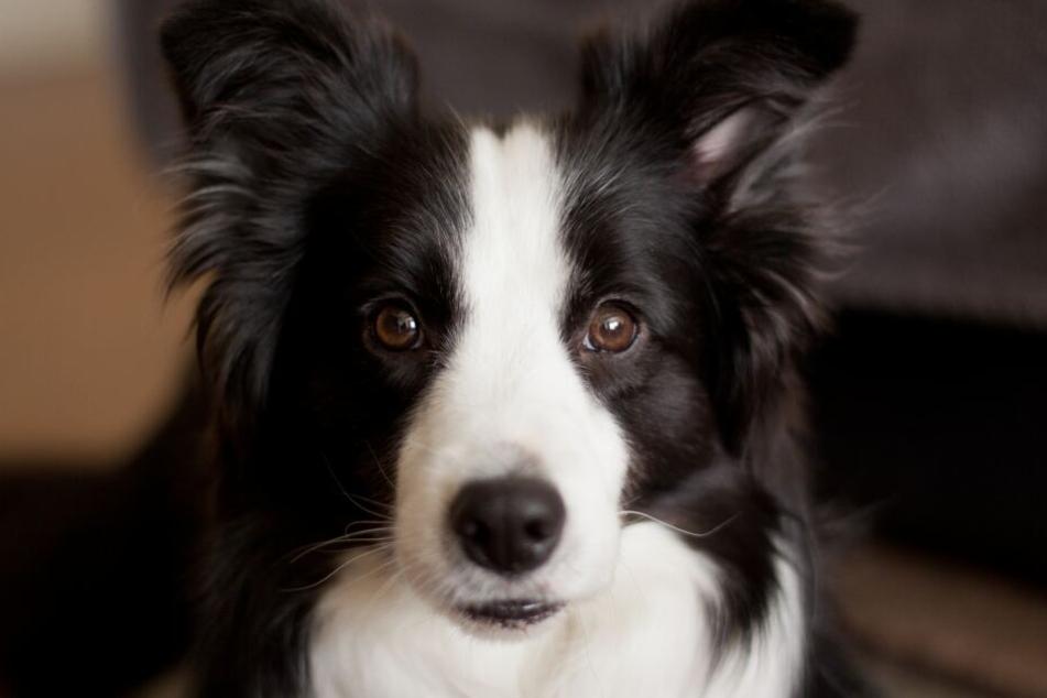 Border Collies sind eine sehr aufmerksame, neugierige und schlaue Hunderasse.