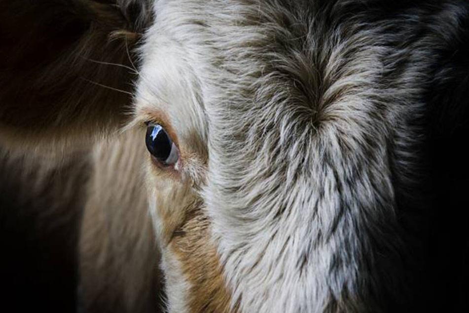 """Schon 4700 Milchkühe wurden """"abgeschafft""""."""