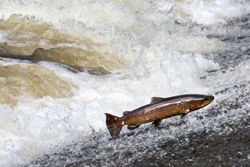 Eine Forelle springt aus einem Fluss: Wie die Chemikalie in die Fische kam, muss noch geklärt werden. (Symbolbild)