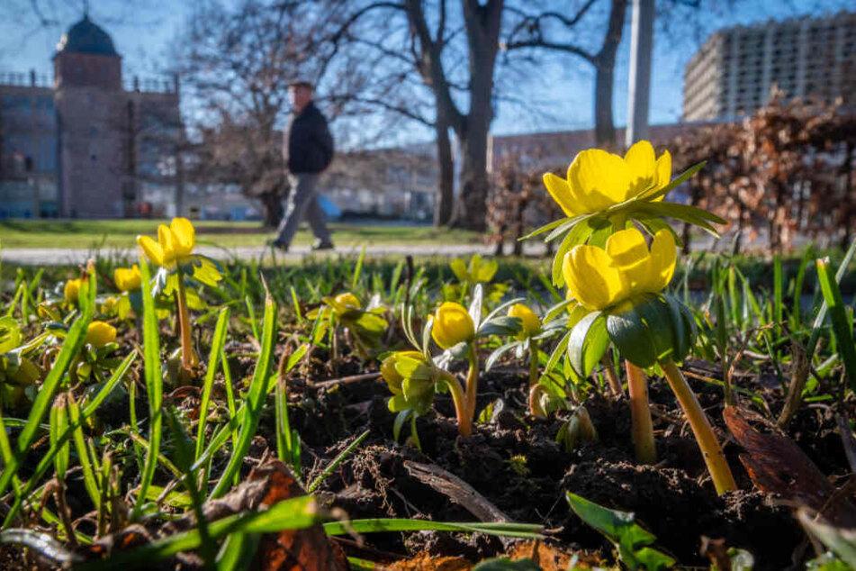 Chemnitz: Frühling mitten im Winter: So leidet Chemnitz unter zu hohen Temperaturen