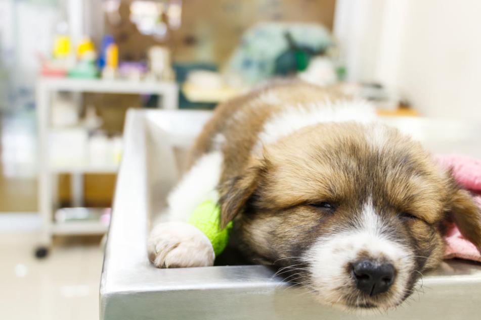 Am Abend erlitt der Hund Krampfanfälle - einen Tag später wurde er eingeschläfert (Symbolbild).