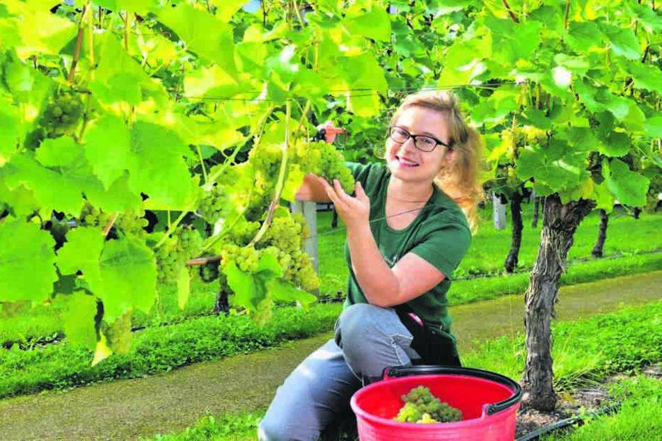 Für den Federweißen - Winzerlehrling Maja Wenzel (19) knipst die prallen  Trauben vom Solaris-Rebstock ab.