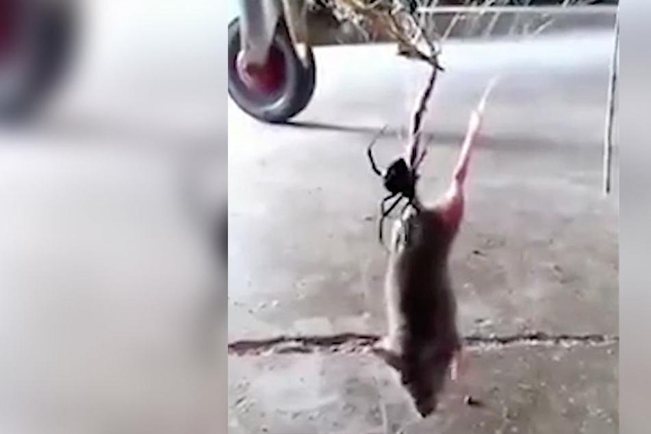 Ratte hängt in Spinnennetz, dann kommt eine Schwarze Witwe