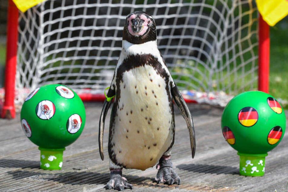 Hat Pinguin Flocke wieder den richtigen Riecher?