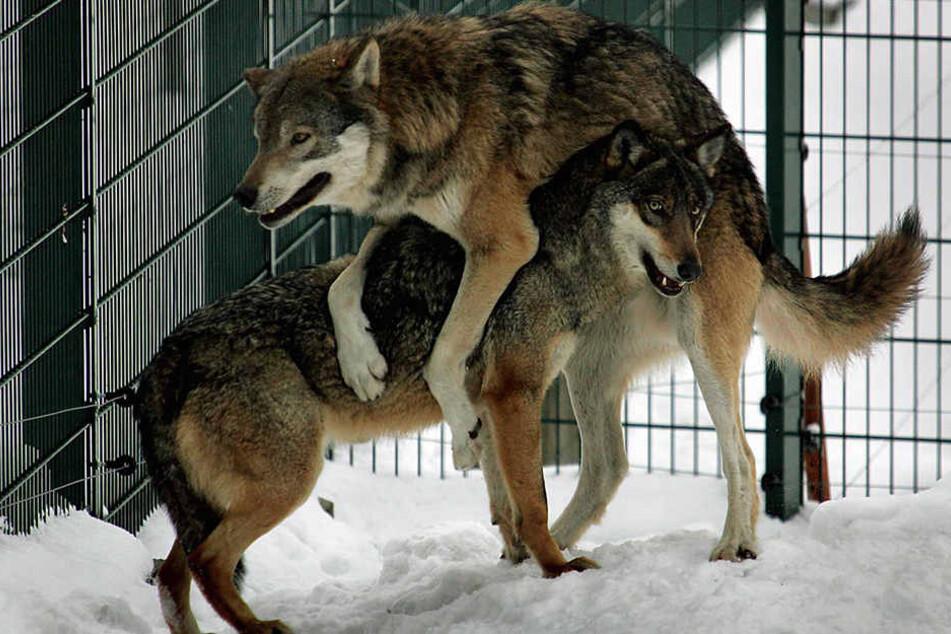 Die Tiere haben Spaß am Winterwetter, mit der trockenen Kälte kommen sie gut klar. (Archivbild)