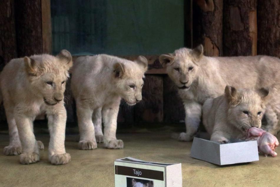2018 freute sich der Magdeburger Zoo über die Geburt des Löwenquartetts Tayo, Simba, Amari und Nyala.