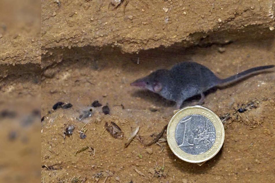 Eine Euromünze zum Vergleich: Etrusker-Spitzmäuse sind die kleinsten Säuger der Welt.