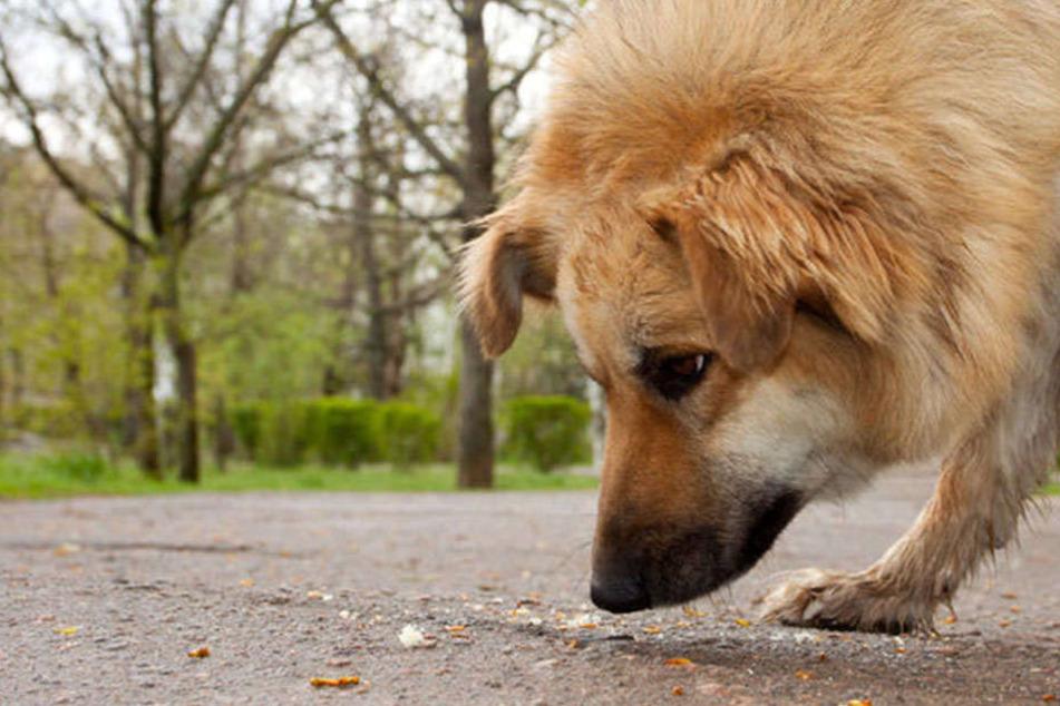 Hündin frisst bei Spaziergang tödlichen Giftköder