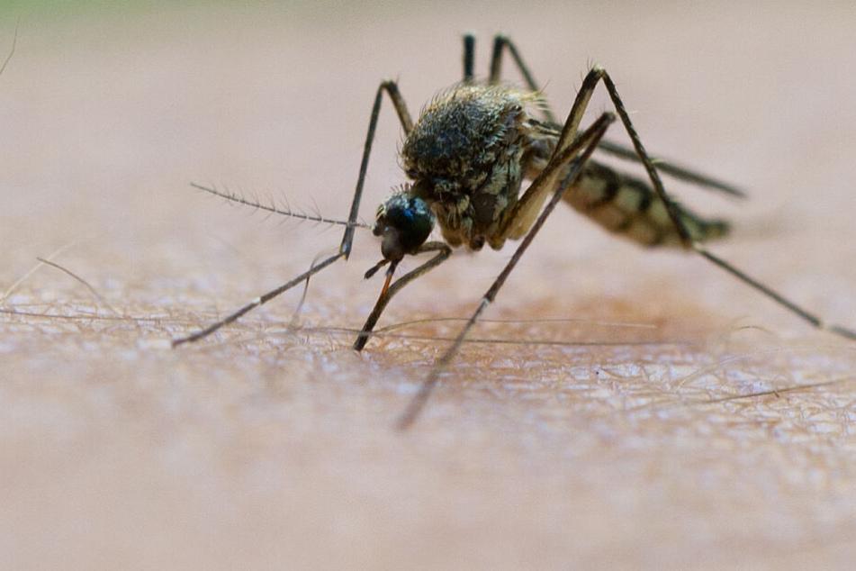 Mücken lieben die Hitzewelle: Droht uns jetzt eine Plage?
