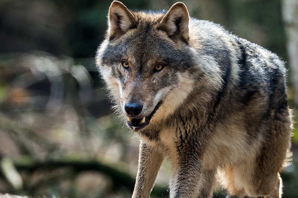 Bislang ist der Wolf in Deutschland streng geschützt.