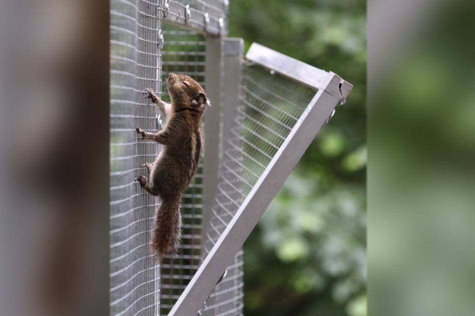 Eins der beiden vermissten Streifenhörnchen wurde erst kürzlich gesehen, wie es am kaputten Käfig herumklettert.