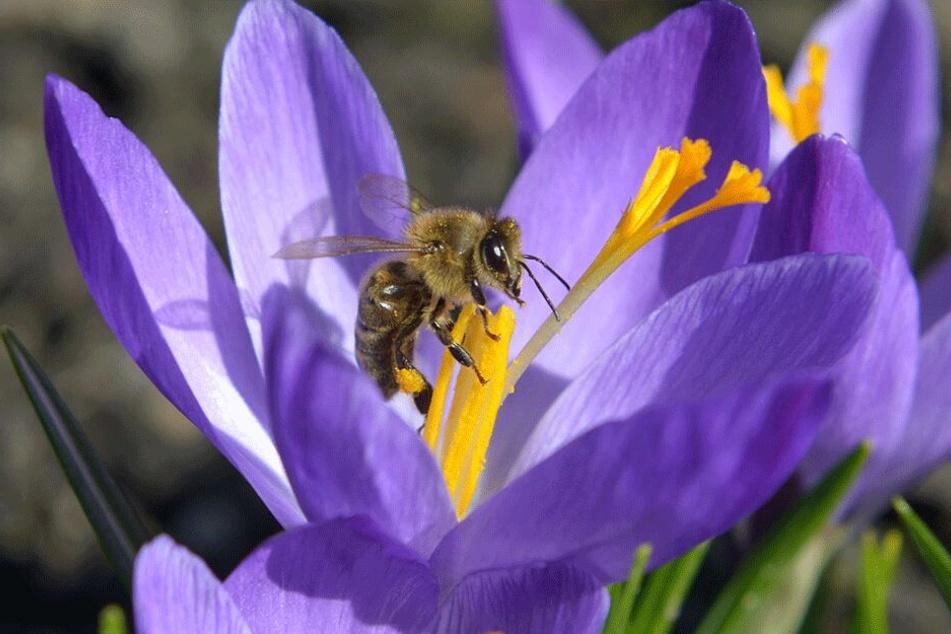 """Hier gibt es noch Bienen: Die Insekten sind auch in den Krokussen der """"Lebensfreude""""-Gärten auf Nektar-Suche."""