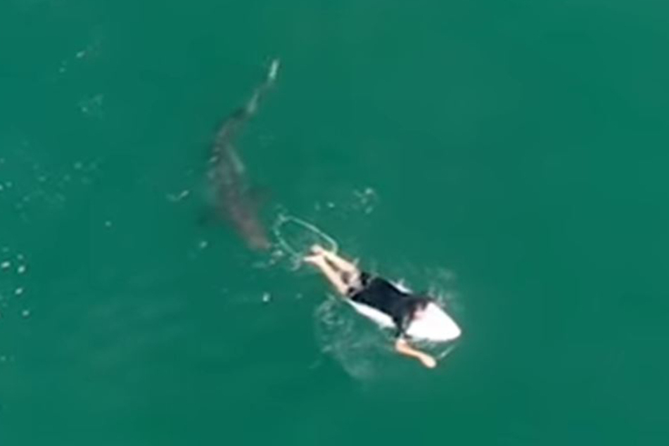 The shark looked like it was going to take a bite out of the surfer.