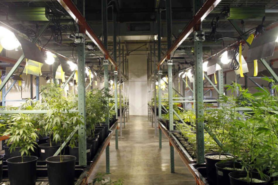 Der gesamte Keller war voller Marihuana-Pflanzen (Symbolfoto).