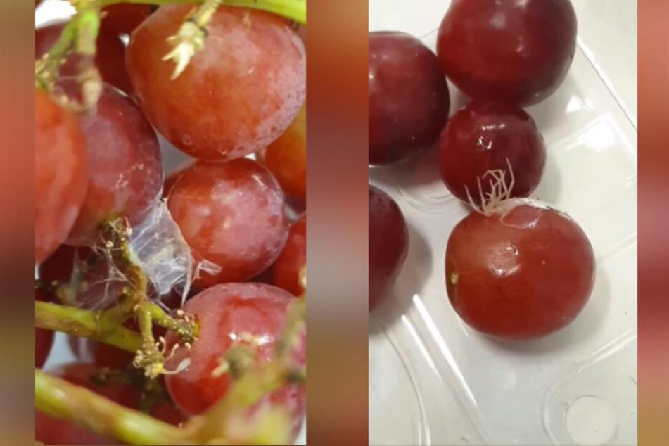Die Weintrauben von Asda enthielten einen Eiersack (l.) und die dazugehörige Witwenspinne.