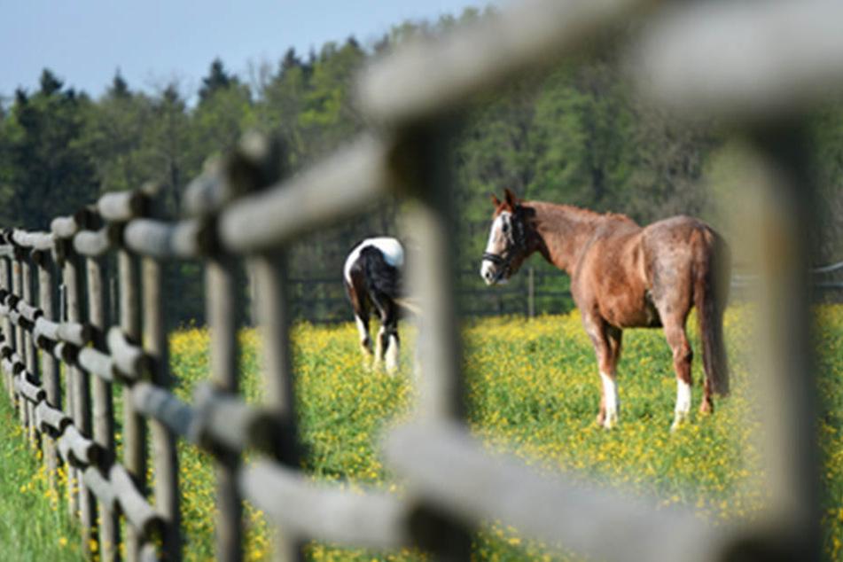 Tierquälerei! Acht Zuchtpferden die Mähnen und Schweife abgeschnitten