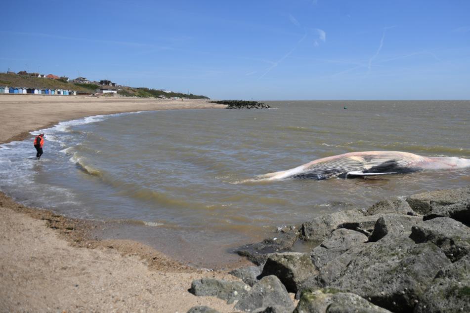 Riesiger Wal an Küste angespült, Schaulustige strömen