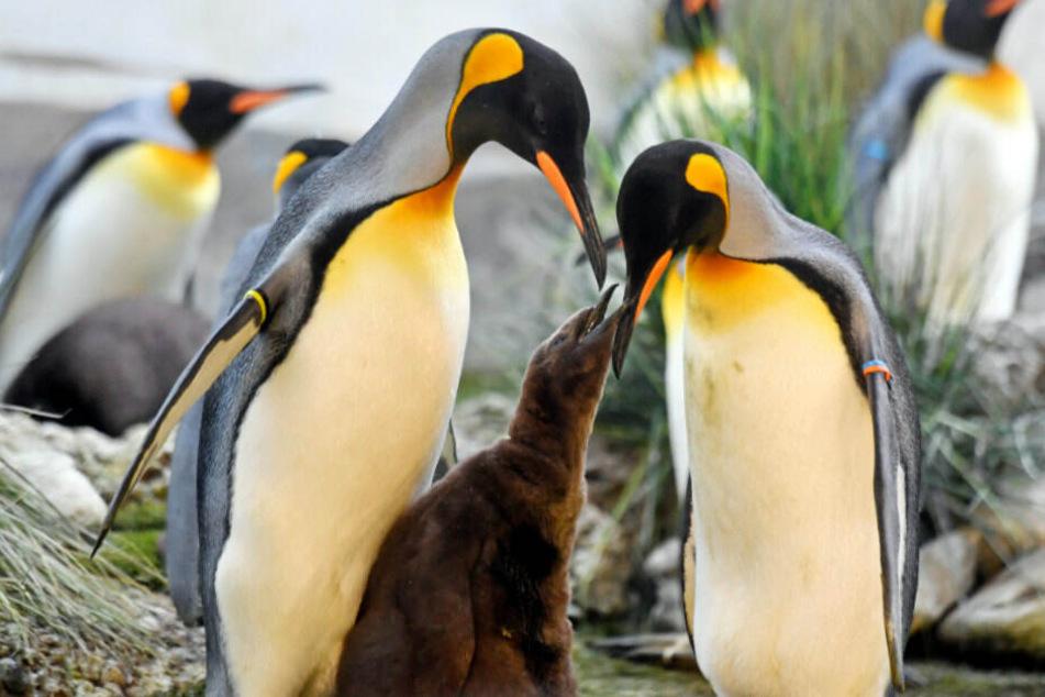 Ein junger Königspinguin wird im Zürcher Zoo der Presse vorgestellt. (Archivbild/Symbolbild)