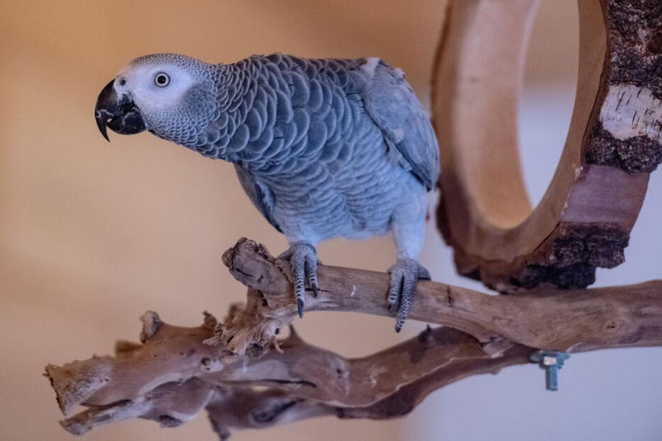 Papagei Carlo sorgt mit seinen Sprüchen für beste Laune im Büroalltag.