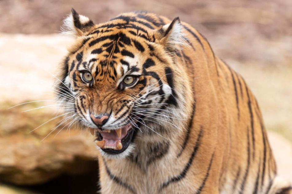 Ein Sumatra-Tiger soll für alles verantwortlich sein (Symbolbild).