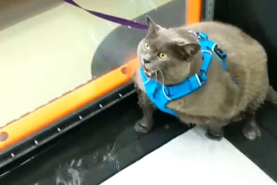 Die Katze will nicht auf dem Laufband laufen.