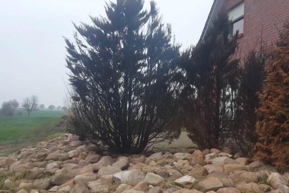 Nach dem Brand sind mehrere Bäume in der Hecke völlig verkohlt.