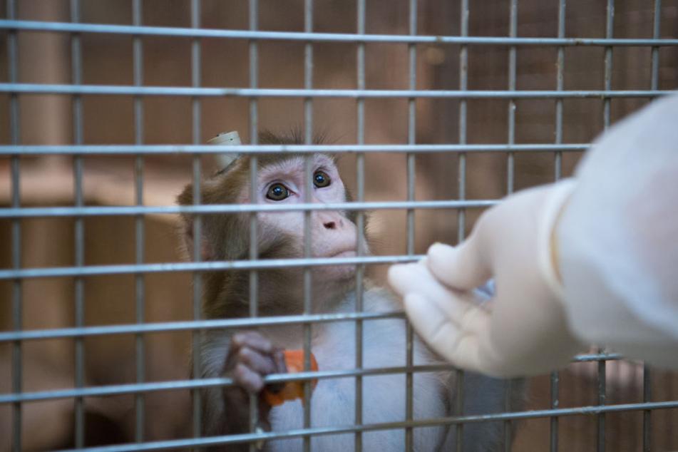 Ein Rhesus-Affe, der zu Versuchszwecken im Käfig gehalten wird. (Symbolbild)