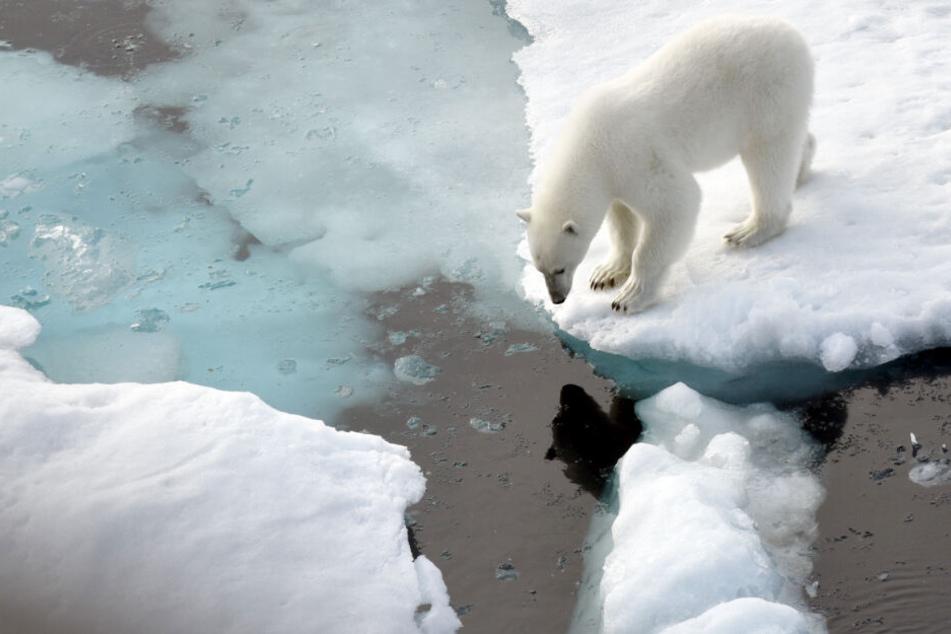 Sein Lebensraum schrumpft: Ein Eisbär steht im Nordpolarmeer auf einer Eisscholle. (Archivbild)