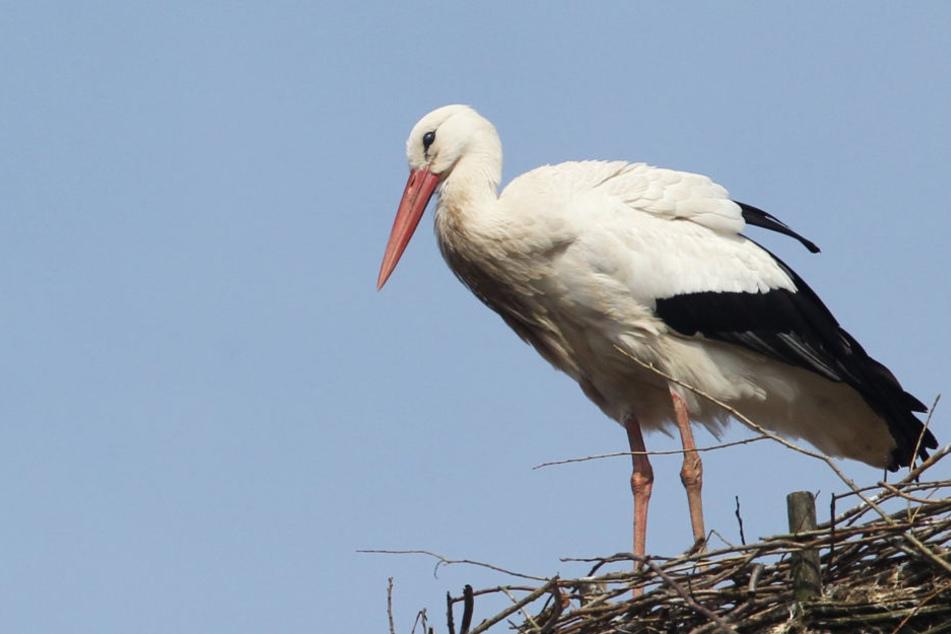 Ein Storch in seinem Nest.