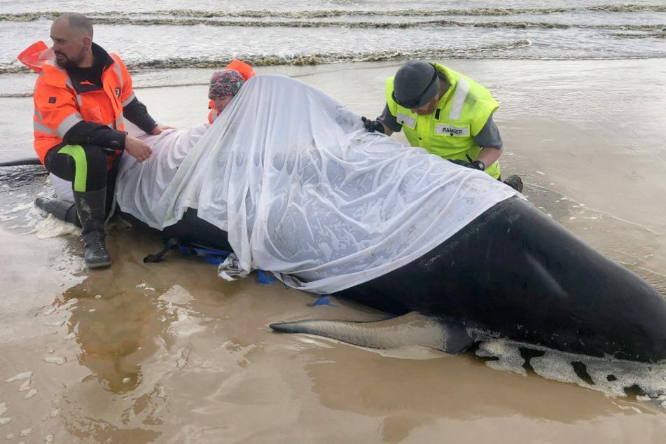 Helfer knien neben einen gestrandeten Wal an der Westküste Tasmaniens.