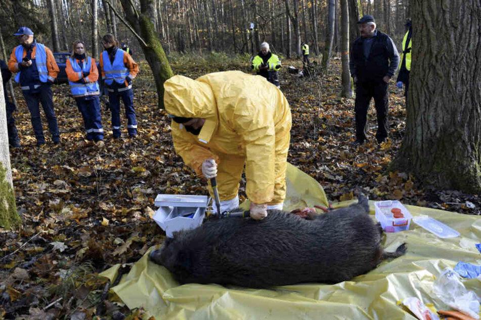 Übung in Polen, hier mit einem toten Wildschwein. Bei Auftreten der Seuche muss alles reibungslos funktionieren.