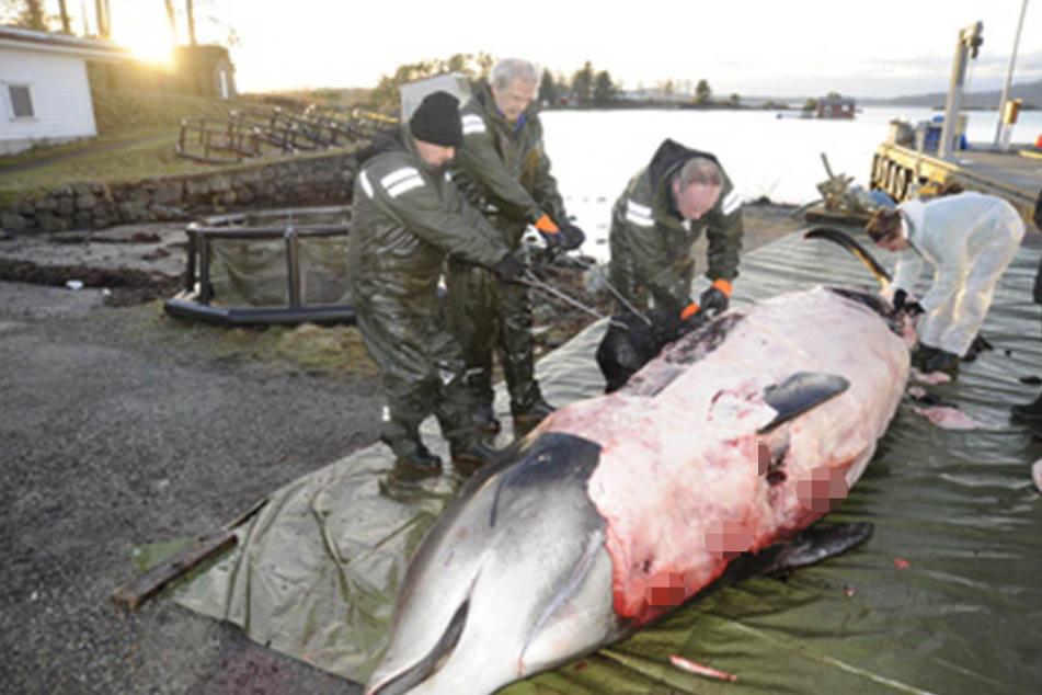 Forscher fanden in diesem Wal zahlreiche Plastiktüten.