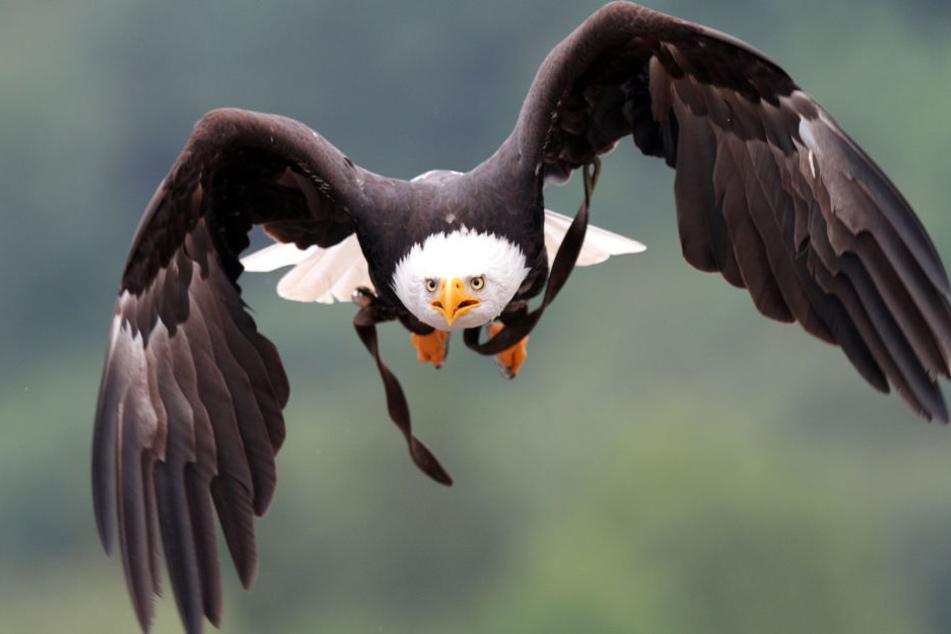 Vom Weißkopfseeadler fehlt jede Spur. (Symbolbild)