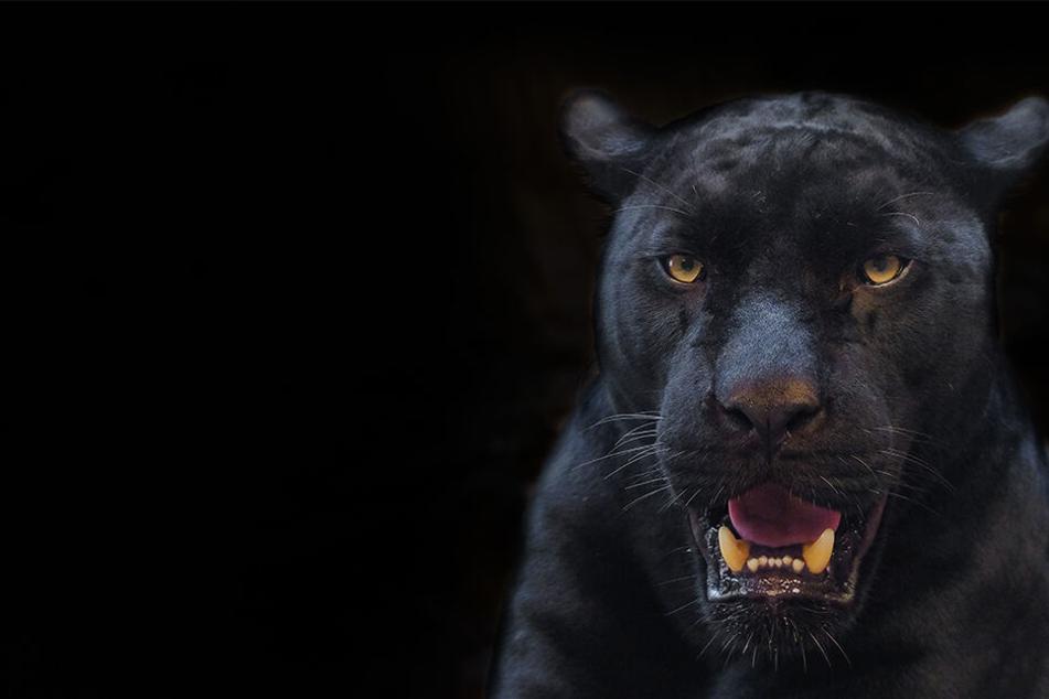So schaut ein schwarzer Panther aus (Symbolbild).