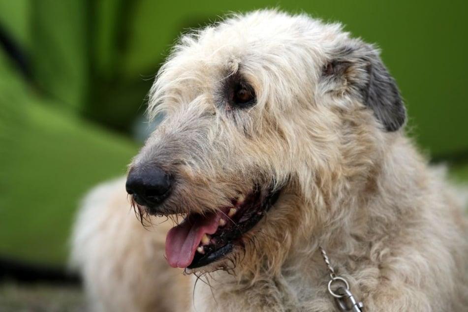 Riesig! Die irischen Wolfshunde erfreuen sich großer Beliebtheit als Familienhunde.