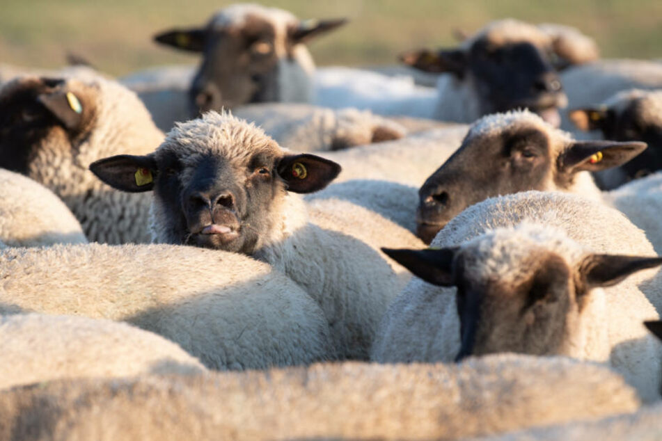 Schafe mit durchgeschnittener Kehle entdeckt: Ein Detail schockiert besonders