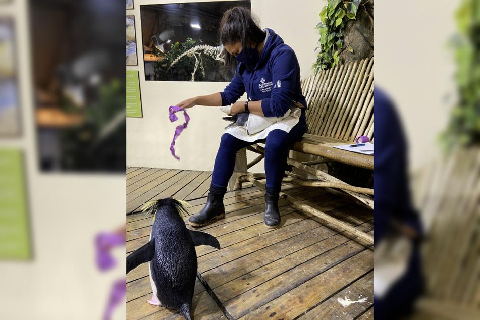 Tierpflegerin Shanet Rutgers verbindet einen Pinguin im Two Oceans Aquarium. Die 30-Jährige verhilft greisen Pinguinen mit Sohlengeschwüren wieder zum unbeschwerten Watscheln.