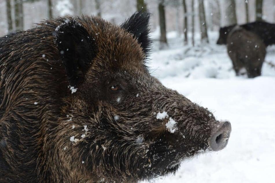 Gefahr durch Schweinepest: Wildschweine sollen daher gejagt werden